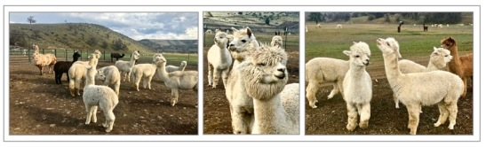 Alpaca_Ranch